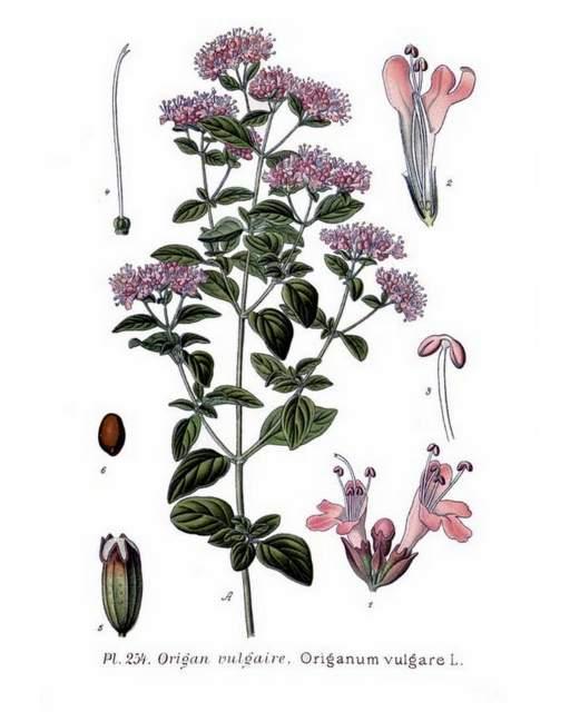 historische Abbildung Dost Origanum vulgare