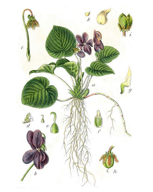 """Viola odorata in: Jacob Sturm: """"Deutschlands Flora in Abbildungen"""" (1796)"""