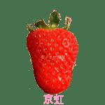 イチゴ探偵|京虹品種図鑑・断面図