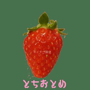 イチゴ探偵 とちおとめ品種図鑑