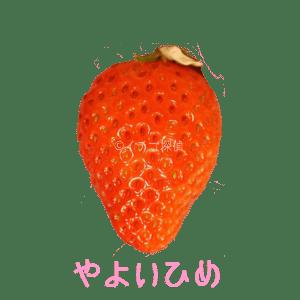 イチゴ探偵|やよいひめ品種図鑑