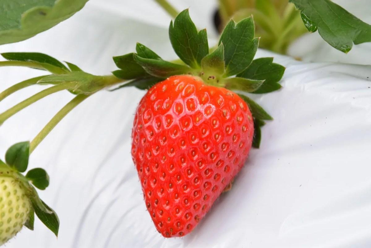 和歌山県のオリジナルいちご【まりひめ】の出荷スタート!栽培面積が過去最大に!