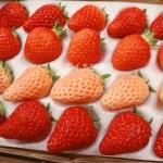 イチゴ探偵|4種の苺食べ比べ!白いイチゴ【ホワイトベリー】ももいちご【あかねっ娘】に定番の【章姫】&【紅ほっぺ】