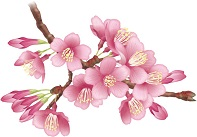 寒緋桜と緋寒桜の違いとは何?東京の開花時期はいつぐらい?