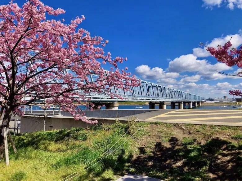 河津桜と鉄道橋