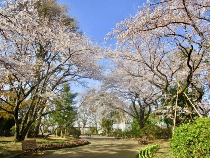 須和田公園内の桜