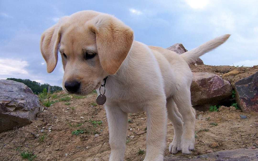Wie erziehe ich Labradorwelpen?