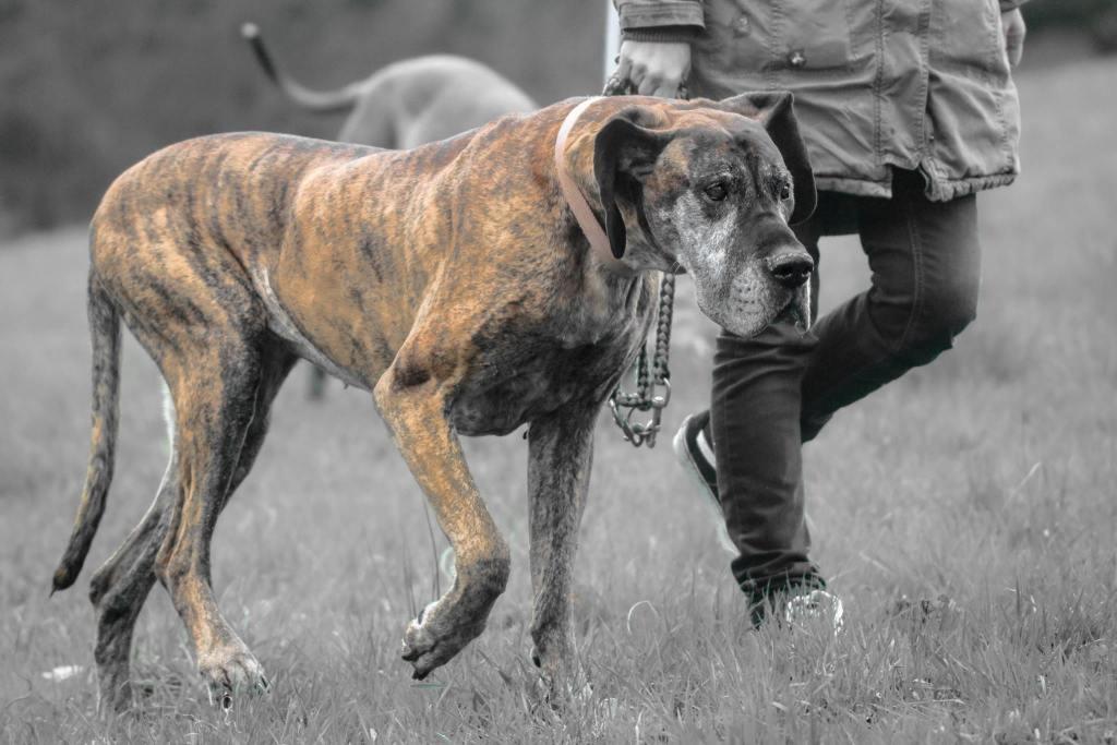 Hunde Foto: Anuschka und LUNA  dt. Dogge - Luna mein Herzblatt