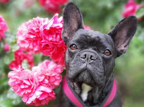 Hunde Foto: Heike und Tula - Eine Rose schenk ich dir....lalala