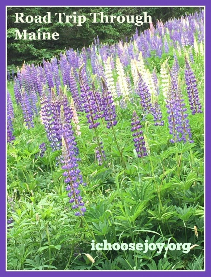 Lupine Road Trip Through Maine