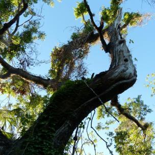 größter Mahagoni Baum der USA