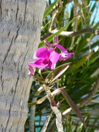 Amerika USA Florida Keys Islamorada Pines and Palms Resort Orchidee