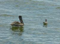 schwimmende Pelikane