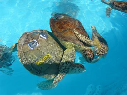 Schildkröten-Gang im Sea Turtle Hospital