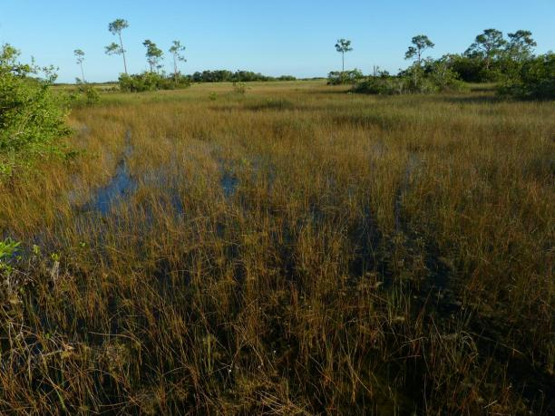 Sumpfgras-Landschaft in den Everglades