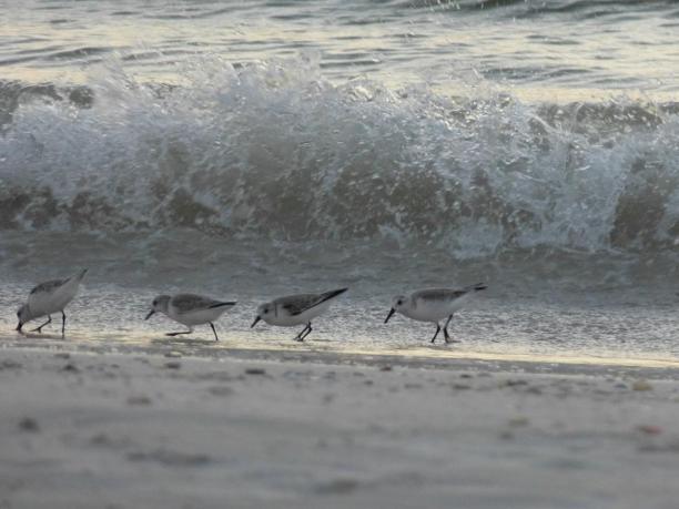 Kleine Wasserläufer am Fort Myers Beach