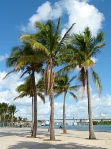 Palmen am Bayfront Park