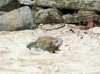 Leguan am Strand-1200x900