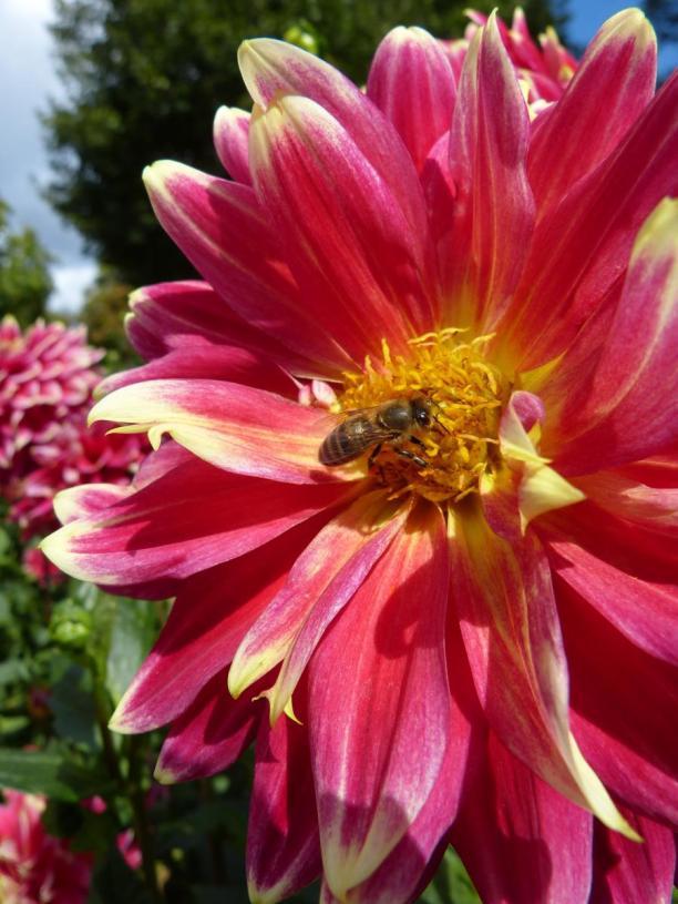 Fulda Dahliengarten Blume Biene