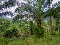 Thailand Khao Sok Nationalpark Dschungel Anurak Community Lodge Pflanzen Palmen