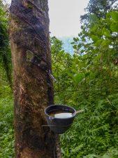 Thailand Khao Sok Nationalpark Dschungel Anurak Community Lodge Dschungelpfad Kautschuk