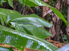 Thailand Khao Sok Nationalpark Dschungel Anurak Community Lodge Bananenstaude Pflanze Blatt