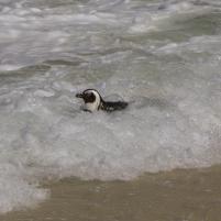 Südafrika South Africa Kap Halbinsel Simons Town Boulders Beach Pinguinkolonie Afrikanische Pinguine Jackass Pinguin schwimmen