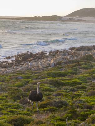 Südafrika South Africa Kap Halbinsel Cape Point Nationalpark Kap der Guten Hoffnung Cape of Good Hope Meer Vogel Strauß
