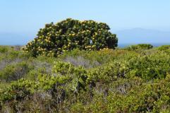 Südafrika South Africa Kap Halbinsel Cape Point Nationalpark Landschaft Fynbos