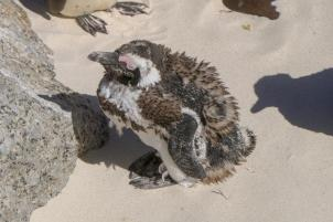Südafrika South Africa Kap Halbinsel Simons Town Boulders Beach Pinguinkolonie Afrikanische Pinguine Jackass Pinguin Küken Mauser