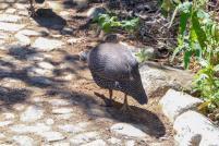 Südafrika South Africa Kapstadt Cape Town Kirstenbosch Botanical Garden Botanischer Garten Vogel Perlhuhn