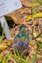 Südafrika South Africa Kapstadt Cape Town Kirstenbosch Botanical Garden Botanischer Garten Vogel Sunbird