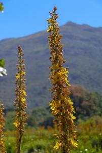 Südafrika South Africa Kapstadt Cape Town Kirstenbosch Botanical Garden Botanischer Garten Blumen Wachendorfia thyrsiflora