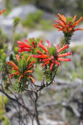 Südafrika Kapstadt Cape Town Tafelberg Table Mountain Blumen