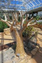 Südafrika South Africa Kapstadt Cape Town Kirstenbosch Botanical Garden Botanischer Garten Wüstenhaus Baum Köcherbaum