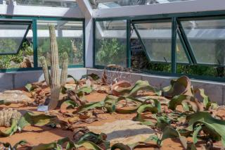 Südafrika South Africa Kapstadt Cape Town Kirstenbosch Botanical Garden Botanischer Garten Pflanzen Welwitschia