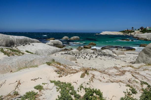 Südafrika South Africa Kap Halbinsel Simons Town Boulders Beach Pinguinkolonie Afrikanische Pinguine Jackass Pinguin