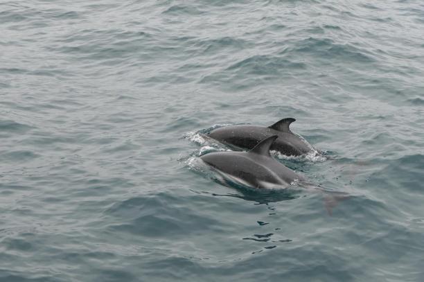 Südafrika South Africa Hermanus Kap Walker Bay Whale Watching Walbeobachtung Southern Right Charters Dusky Dolphin Schwarzdelphin Delphin Delfin