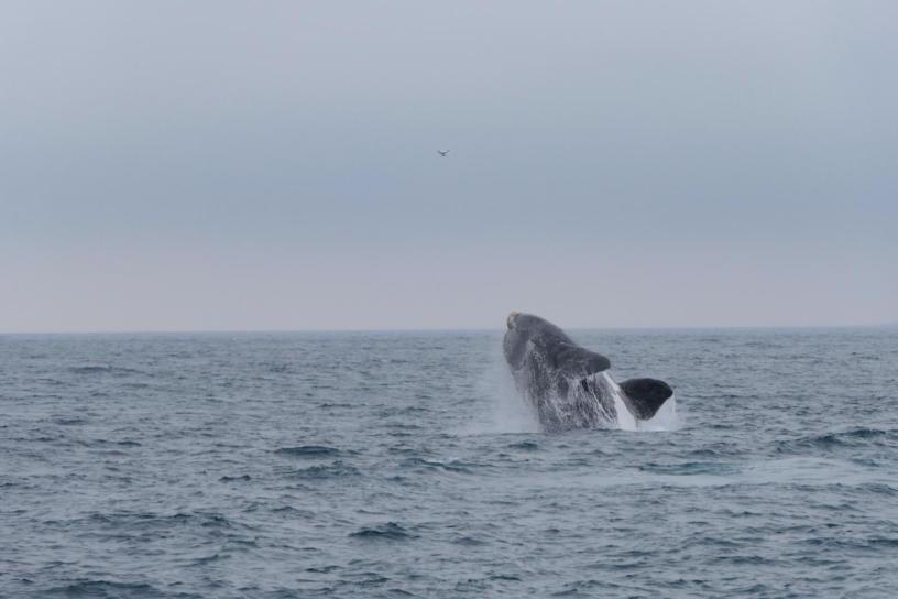 Südafrika South Africa Hermanus Kap Walker Bay Whale Watching Walbeobachtung Southern Right Charters Whale Wal südlicher Glattwal Südkaper springend Breaching