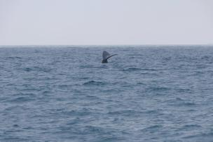 Südafrika South Africa Hermanus Kap Walker Bay Whale Watching Walbeobachtung Southern Right Charters Whale Wal südlicher Glattwal Südkaper Schwanzflosse