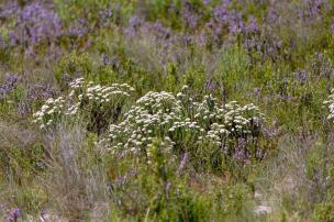 Südafrika South Africa Kap De Hoop Nature Reserve Naturreservat Fynbos Landschaft Blumen