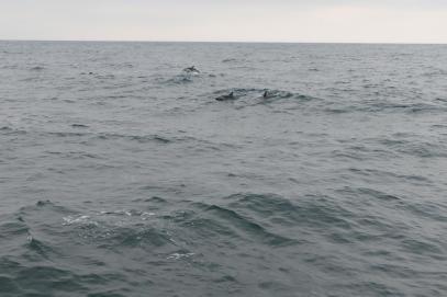 Südafrika South Africa Hermanus Kap Walker Bay Whale Watching Walbeobachtung Southern Right Charters Dusky Dolphin Schwarzdelphin Delphin Delfin Delphinschule