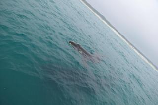 Südafrika South Africa Hermanus Kap Walker Bay Whale Watching Walbeobachtung Southern Right Charters Whale Wal südlicher Glattwal Südkaper Mutter Kalb