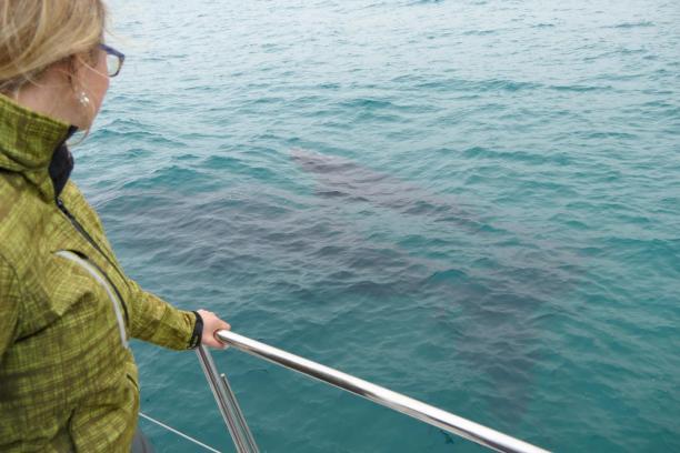 Südafrika South Africa Hermanus Kap Walker Bay Whale Watching Walbeobachtung Southern Right Charters Whale Wal südlicher Glattwal Südkaper Katamarn ganz nah