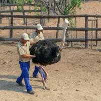 Südafrika South Africa Kleine Karoo Oudtshoorn Schoemanshoek Cango Ostrich Show Farm Vogel Strauß Straußenfarm Fang