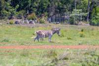 Afrika Südafrika South Africa Garden Route Knysna Elephant Park Zebras Junge