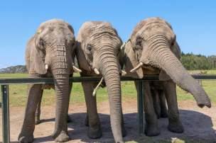 Afrika Südafrika South Africa Garden Route Knysna Elephant Park Elefanten