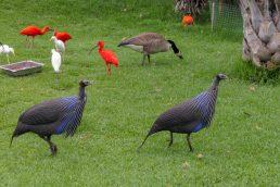 Südafrika South Africa Garden Route Kap Plettenberg Bay Birds of Eden Vogelvoliere Saasa Vögel Perlhühner