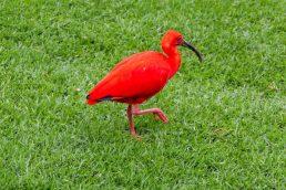 Südafrika South Africa Garden Route Kap Plettenberg Bay Birds of Eden Vogelvoliere Saasa Vögel Roter Ibis