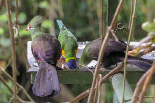 Südafrika South Africa Garden Route Kap Plettenberg Bay Birds of Eden Vogelvoliere Saana Vögel Lorie